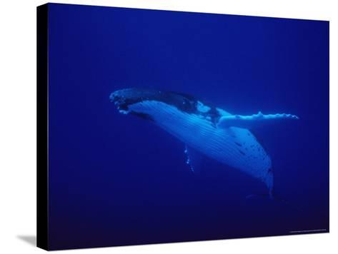 Humpback Whale, Underwater, Polynesia-Gerard Soury-Stretched Canvas Print