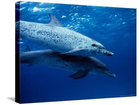 Atlantic Spotted Dolphins, Swimming, Bahamas-Gerard Soury-Stretched Canvas Print