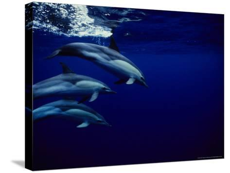 Short-Beaked Common Dolphin, Tenerife, Canary Isles-Gerard Soury-Stretched Canvas Print