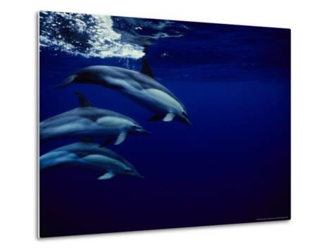 Short-Beaked Common Dolphin, Tenerife, Canary Isles-Gerard Soury-Metal Print