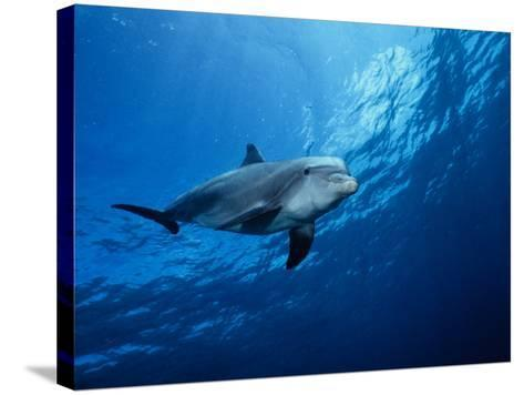 Bottlenose Dolphin, Underwater, Providenciales-Gerard Soury-Stretched Canvas Print