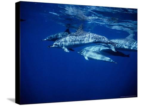 Long-Snouted Spinner Dolphin, Group, Brazil-Gerard Soury-Stretched Canvas Print
