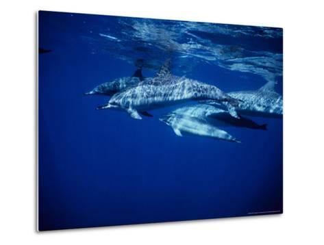 Long-Snouted Spinner Dolphin, Group, Brazil-Gerard Soury-Metal Print