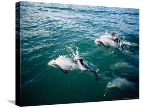 Hectors Dolphins, Porpoising, New Zealand-Gerard Soury-Stretched Canvas Print