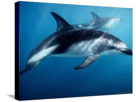 Dusky Dolphin, Underwater, New Zealand-Gerard Soury-Stretched Canvas Print