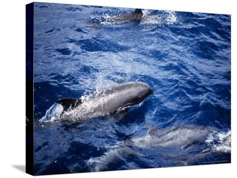 Melon-Headed Whale at Surface, Polynesia-Gerard Soury-Stretched Canvas Print