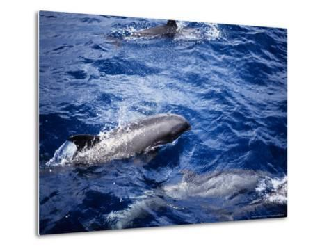 Melon-Headed Whale at Surface, Polynesia-Gerard Soury-Metal Print