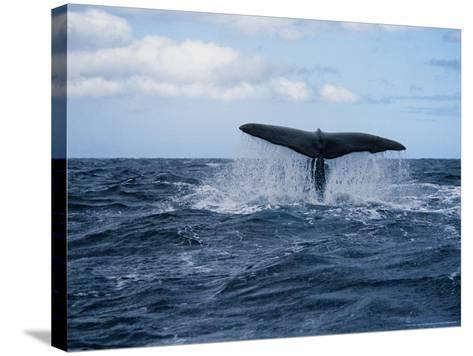 Sperm Whale, About to Dive, Portugal-Gerard Soury-Stretched Canvas Print