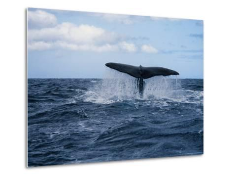 Sperm Whale, About to Dive, Portugal-Gerard Soury-Metal Print