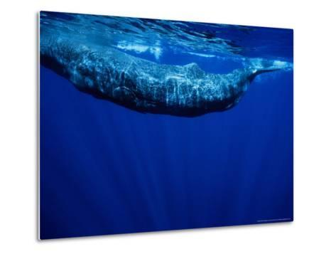 Sperm Whale, Juvenile, Portugal-Gerard Soury-Metal Print