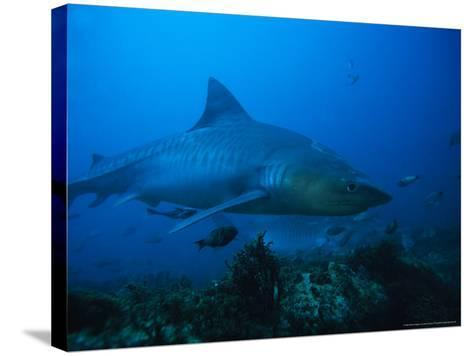 Tiger Shark, Swimming, South Africa-Gerard Soury-Stretched Canvas Print