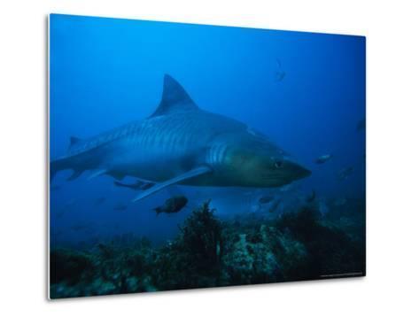 Tiger Shark, Swimming, South Africa-Gerard Soury-Metal Print