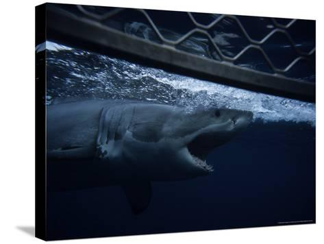 Great White Shark, Swimming by Cage, S. Australia-Gerard Soury-Stretched Canvas Print