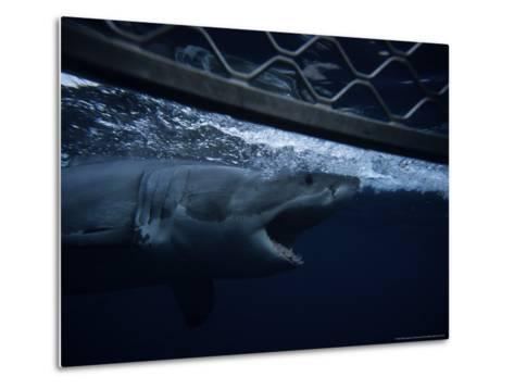Great White Shark, Swimming by Cage, S. Australia-Gerard Soury-Metal Print