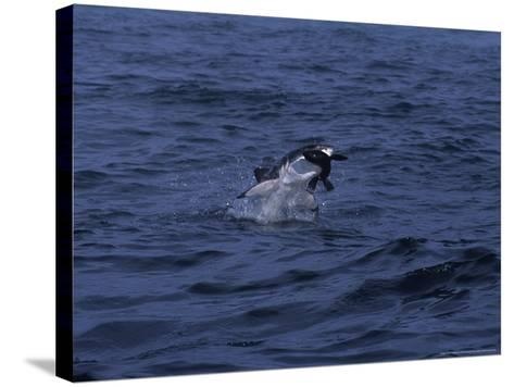 South African Fur Seal, Attacked by Shark-Gerard Soury-Stretched Canvas Print