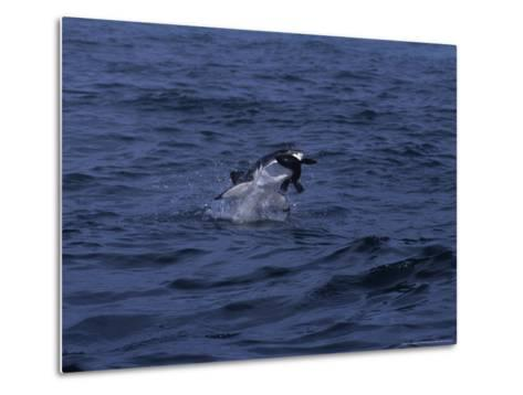 South African Fur Seal, Attacked by Shark-Gerard Soury-Metal Print