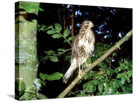 Common Buzzard, Young, England, UK-Les Stocker-Stretched Canvas Print