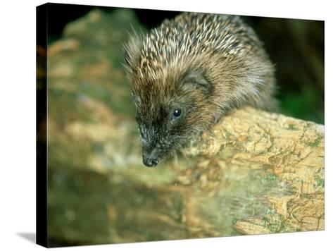 Hedgehog, Aylesbury, UK-Les Stocker-Stretched Canvas Print
