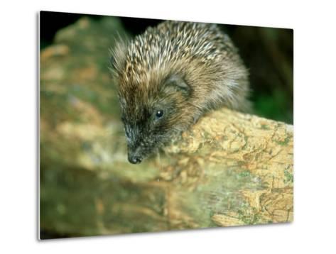 Hedgehog, Aylesbury, UK-Les Stocker-Metal Print