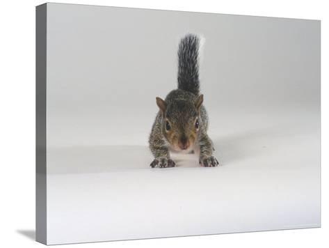 Grey Squirrel-Les Stocker-Stretched Canvas Print