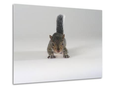 Grey Squirrel-Les Stocker-Metal Print
