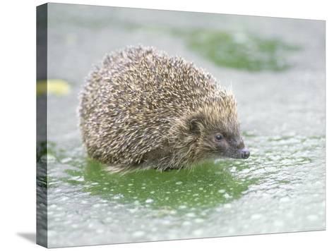 Hedgehog, UK-Les Stocker-Stretched Canvas Print