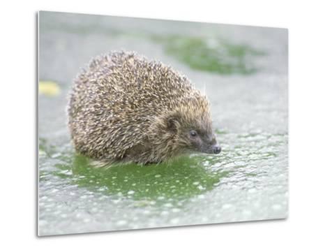 Hedgehog, UK-Les Stocker-Metal Print