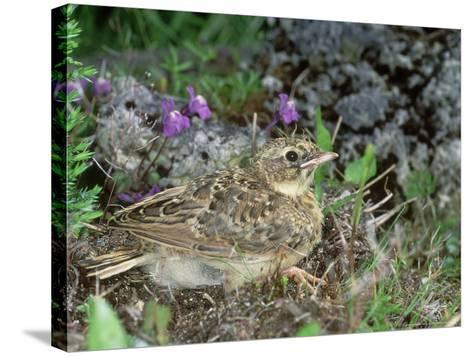 Skylark, Young-Les Stocker-Stretched Canvas Print