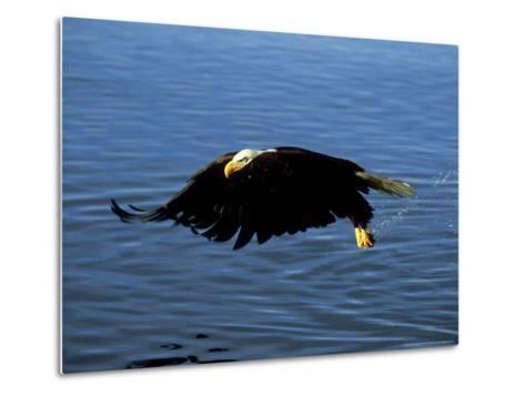 Bald Eagle, Feb, USA-David Tipling-Metal Print
