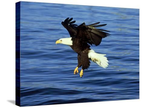 Bald Eagle, Feb, USA-David Tipling-Stretched Canvas Print