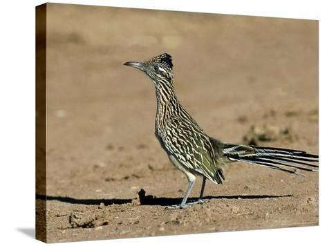 Greater Roadrunner, New Mexico-David Tipling-Stretched Canvas Print