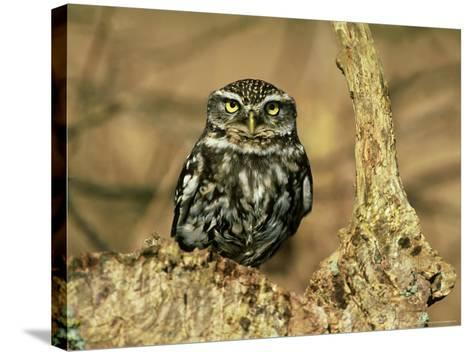 Little Owl, Hampshire-David Tipling-Stretched Canvas Print