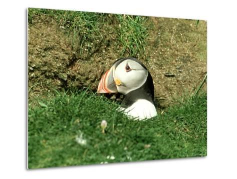 Puffin, Peering out of Hole, Shetland-David Tipling-Metal Print