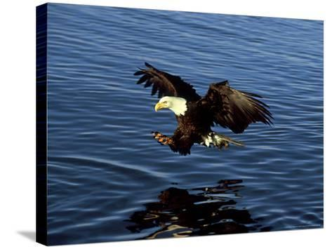 Bald Eagle, Hunting, USA-David Tipling-Stretched Canvas Print