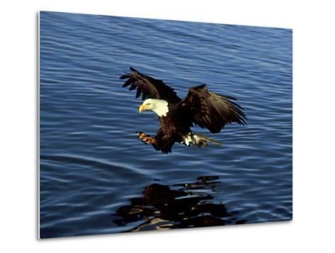 Bald Eagle, Hunting, USA-David Tipling-Metal Print