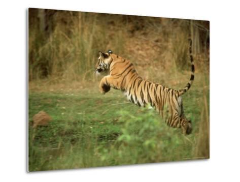 Tiger, Leaping, India-Satyendra K^ Tiwari-Metal Print