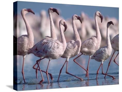Greater Flamingos, Lake Nakuru, Kenya-Roy Toft-Stretched Canvas Print