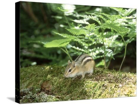 Eastern Chipmunk, Baxter State Park, USA-Roy Toft-Stretched Canvas Print