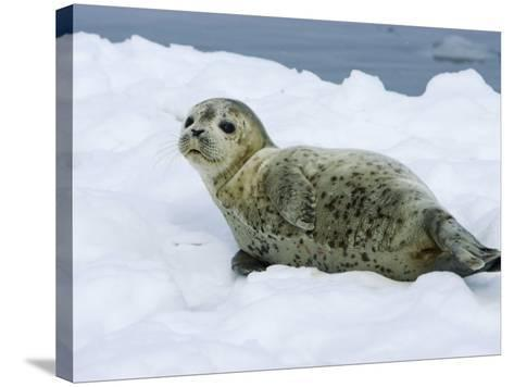 Harbor Seal, Young Seal Lying in Snow, Japan-Roy Toft-Stretched Canvas Print