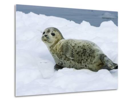 Harbor Seal, Young Seal Lying in Snow, Japan-Roy Toft-Metal Print