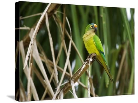 Peach-Fronted Parakeet, Parakeet Perched on Leafy Branch, Brazil-Roy Toft-Stretched Canvas Print