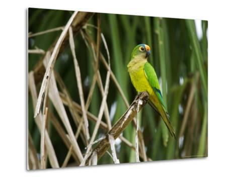 Peach-Fronted Parakeet, Parakeet Perched on Leafy Branch, Brazil-Roy Toft-Metal Print