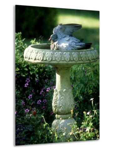 Wood Pigeon in Birdbath, UK-Ian West-Metal Print