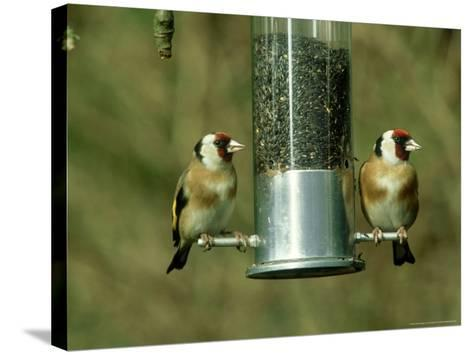 Goldfinch, Pair Feeding on Birdfeeder, UK-Ian West-Stretched Canvas Print