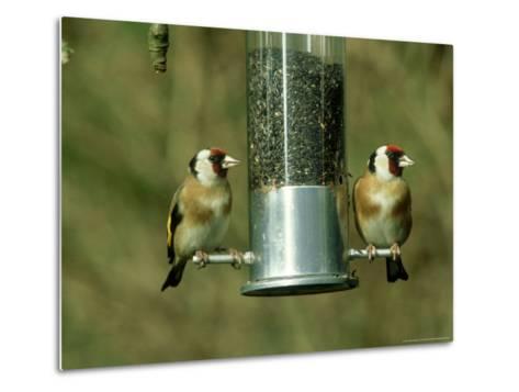 Goldfinch, Pair Feeding on Birdfeeder, UK-Ian West-Metal Print