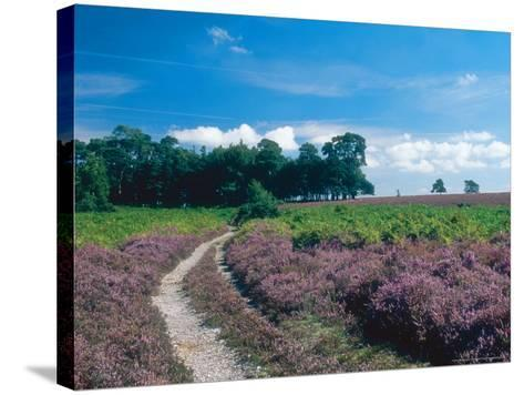 Bell Heather and Ling, Ibsley Common, Hampshire, UK-Ian West-Stretched Canvas Print