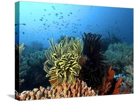Feather Star, Komodo, Indonesia-Mark Webster-Stretched Canvas Print