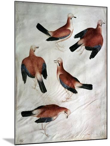 Five Jays-Antonio Pisani Pisanello-Mounted Giclee Print