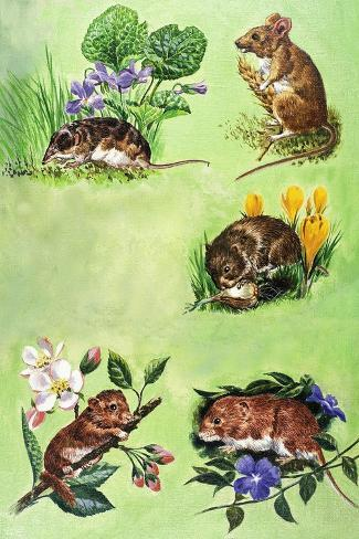 Mice, Voles and Shrews-Eric Tansley-Stretched Canvas Print