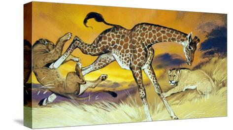 Giraffe Kicking Lion-Angus Mcbride-Stretched Canvas Print